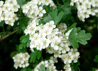 fleurs mellifères: aubépine