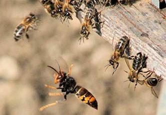 Le frelon à pattes jaunes fait trembler l'apiculture européenne