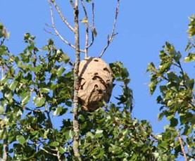 Le nid de frelon