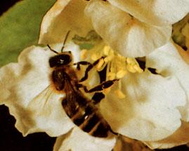 abeille récoltant du pollen