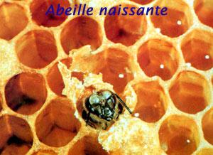 Une petite abeille en train de naître...