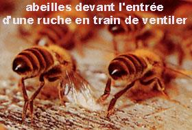 abeilles ventileuses
