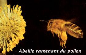 abeille et son pollen