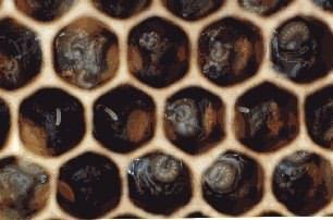 larves et oeufs dans des alvéoles