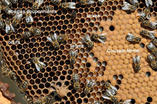 Cadre de couvain d'abeilles.