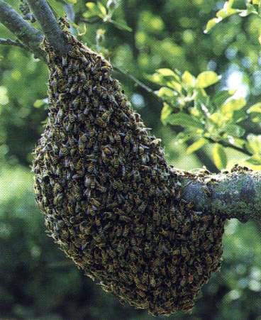 Un essaim d 39 abeilles for Dans ou d en