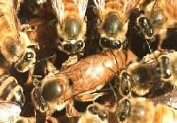 La reine et ses abeilles